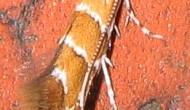 Miniermotte und Varroamilbe