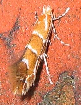 Miniermotte - Cameraria_ohridella - Wikipedia
