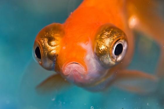 Goldfisch-Benson Kua-Flickr