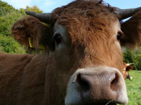 Kuh - Foto Brigitte Mackscheidt